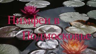 Кувшинки в Подмосковье: бурно цветут, активно размножаются и отлично зимуют