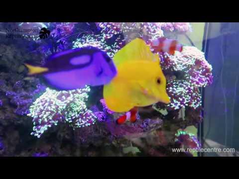 Feeding Mysis Shrimp to Reef Aquarium