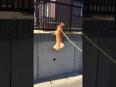 Dog Jumps Onto High Ledge