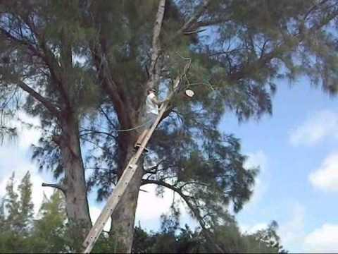 How to cut a tree limb using a rope and a ladder