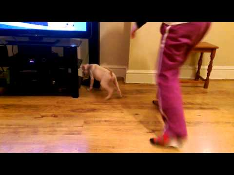 How to keep a boxer puppy busy