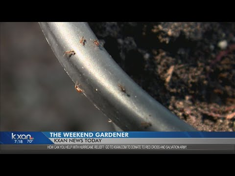 Weekend Gardener: How to get rid of fire ant mounds