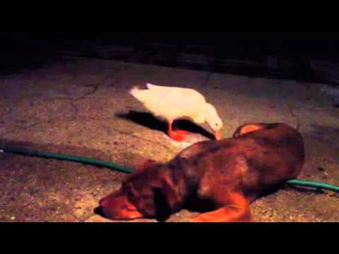 Duck wants to mate with the dog