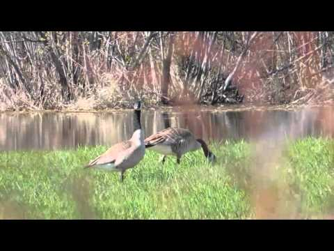 Canadian Geese in the wetlands and one gives a call out.