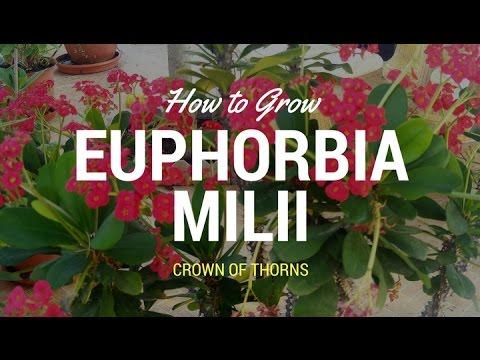 Growing Crown of Thorns (Euphorbia milii)/how to grow euphorbia milli/urdu,hindi