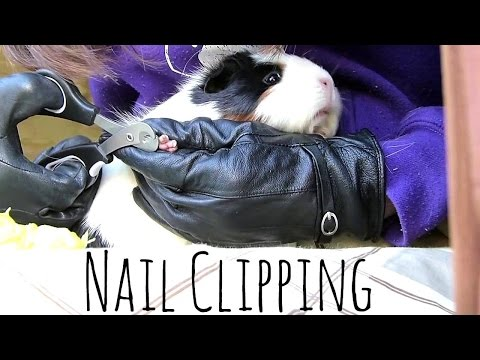 Pet Guinea Pig Nail Clipping Instruction