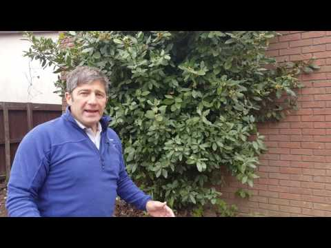 How To Prune a Bay Tree Laurus Nobilis Like a Pro