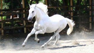 #x202b;خيول سيسي للبيع 2019 خيول شعبية اصيلة حصان للبيع بيع وشراء الخيول سوق الخيل#x202c;lrm;