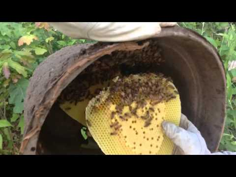 Wheatmore  H.S. FFA honey bee swarm trap to hive