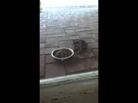 Frog eating cat food