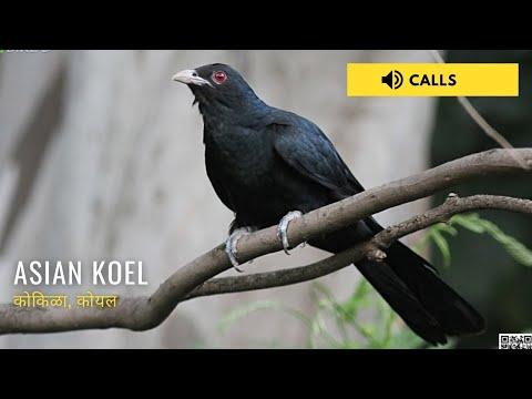 koyal ringtone video song download