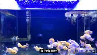 淘汰蘭壽 期待有緣人  2017 12 09