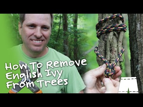 How To Remove English Ivy Vines From Trees DIY