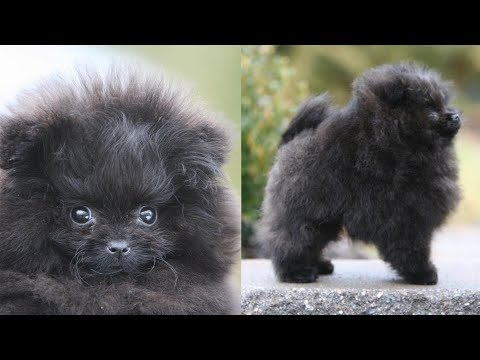 Picking up my NEW POMERANIAN PUPPY!! | Meet Treacle, my black Pomeranian