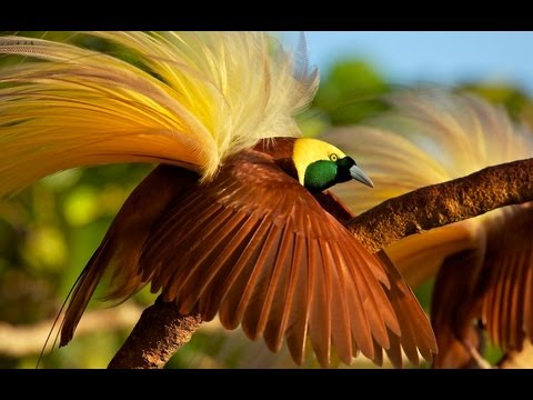 Greater Bird-of-Paradise