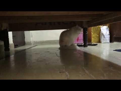 Male Persian Cat calling Female to Mate| Male Cat strange Noise