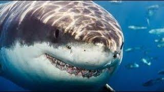 The Predatory Behavior of the Great White Shark