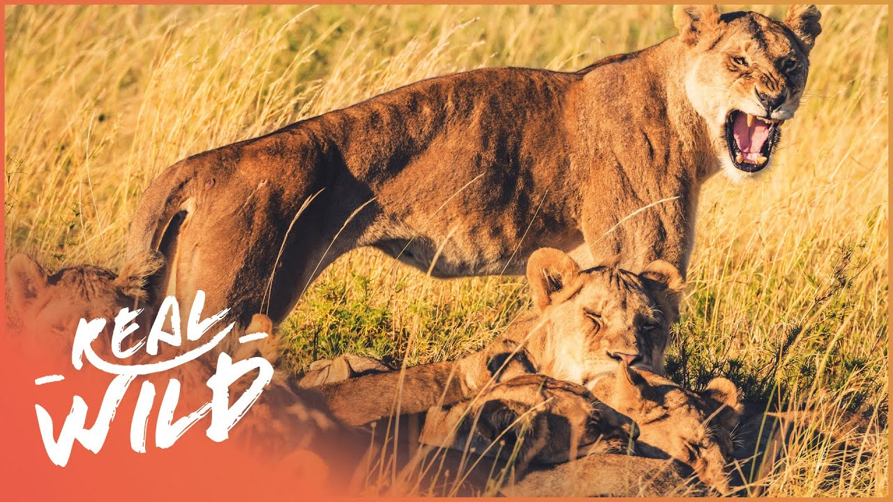 The Survival Of A Lion Pride (Wildlife Documentary) | Real Wild
