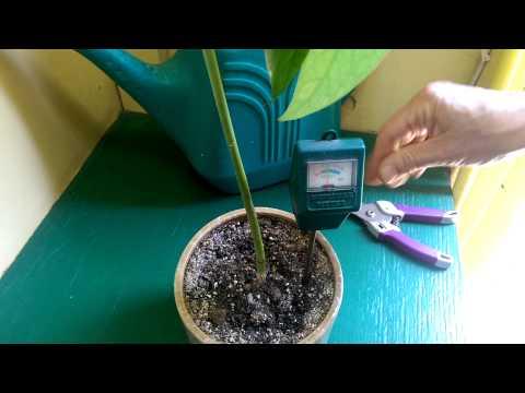 Indoor Avocado Tree Growing Progress