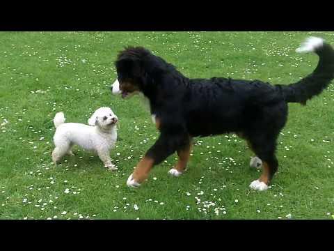 Bichon Peppa not impressed with Bernese Puppy Murphy.