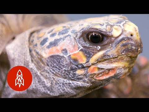 This Tortoise Could Be Extinct in 20 Years