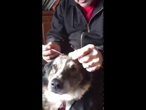 Removing stitches in a very patient dog. Tabby