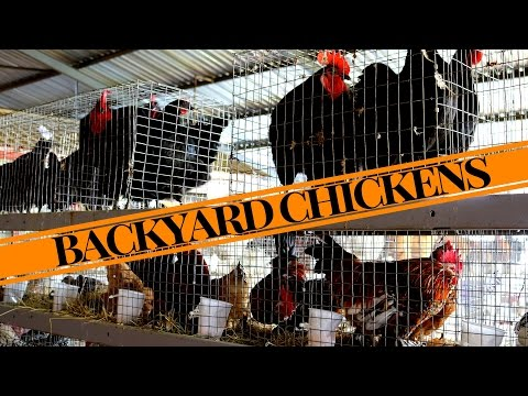 FREE RANGE BACKYARD CHICKENS - Chicken Coop, Laying Hens & Auction - Part 1