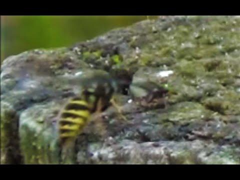Wasps Massacre Flying Ants