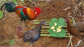 The Forrest Chicken Trap || Wild chicken trap || Best way to catch wild chicken