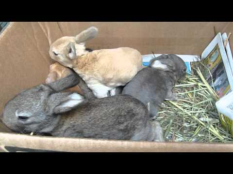 12 Day Old Rabbits