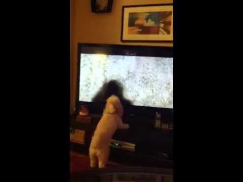 Crazy dog barking at t.v!!!