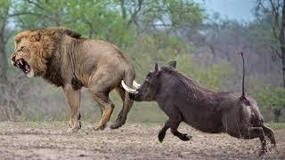OMG! Male Lion Catch Cheetah Cubs While Mother Cheetah Hunting Impala - Cheetah Revenge Lion Fail