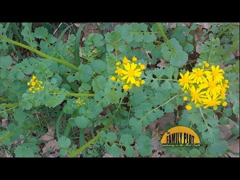 Q&A – What is this plant and is it a weed or wildflower? -Butterweed