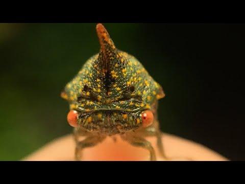 Horned Leaf Hopper •Macro Slideshow