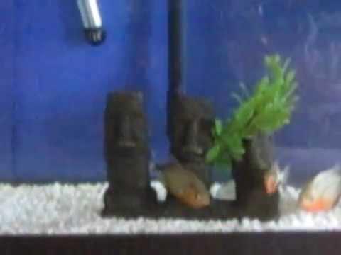 piranha eat pinky