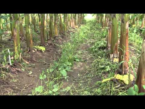 Cultivo de Plátano Sustentable (Manejo de Canavalia ensiformis como abono verde)