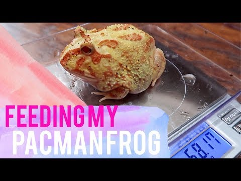 Feeding My Pacman Frog Lemon & Weight Update | Feeding Horned Pacman Frog