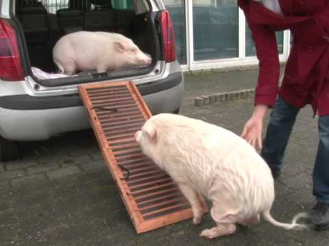 Saving Germany's unwanted 'micro pigs'