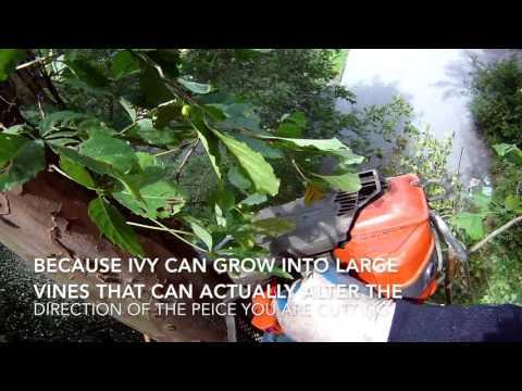 English Ivy A Tree Climber's Nightmare