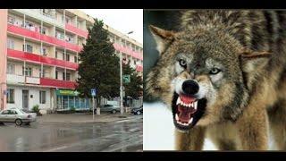 როგორ აღმოჩნდა მგელი გორის  ცენტრში 11.05.2015