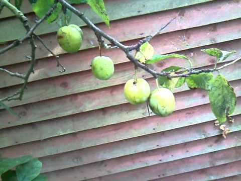 How to rejuvanate a neglected plum tree.