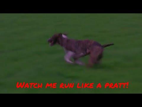 Bull Terrier loki park run exercise power they use to run
