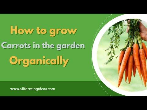 Grow carrots in the garden organically (HIndi/Urdu)