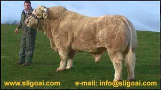 Charolais Bull   CRESUS   based at SLIGO AI   wwwsligoaicom.wmv