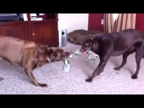 How to keep 2 Labs Busy