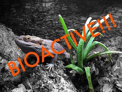 Bioactive Bearded Dragon Vivarium Build