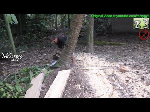 Logging Chainsaw Take Down Coconut Tree
