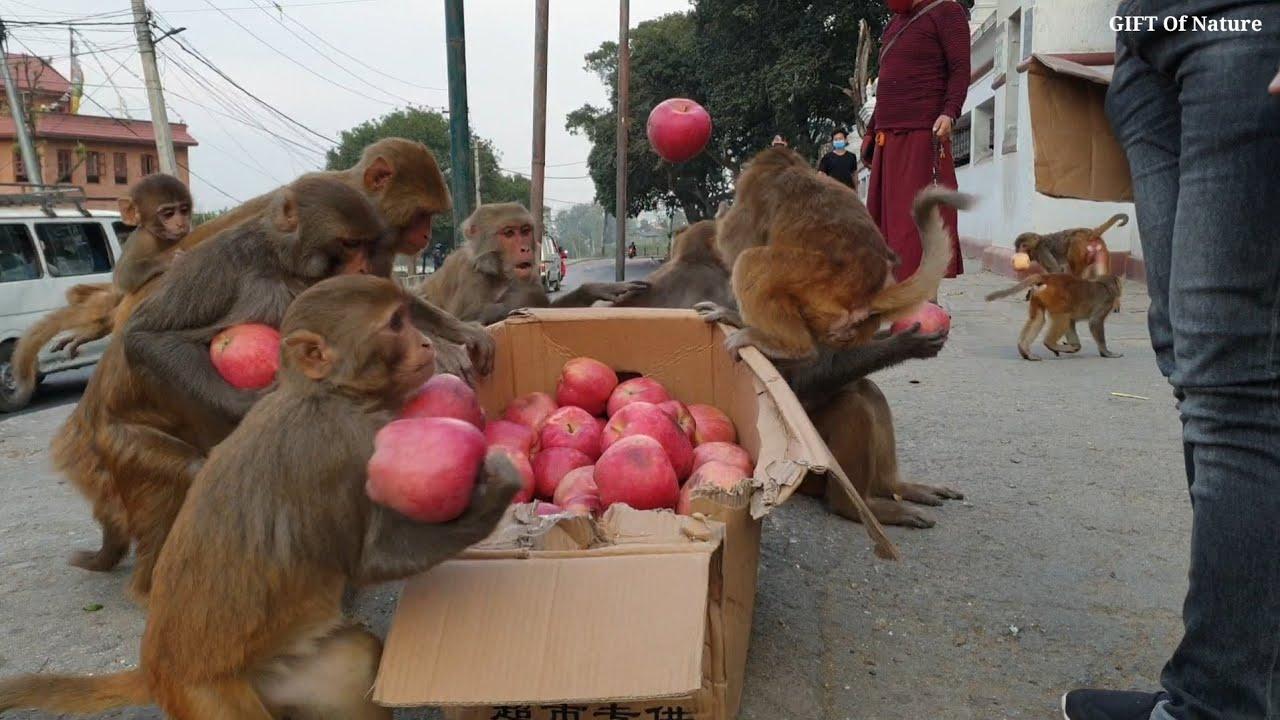 Feeding 20 kilogram apple to a monkey || feeding fuji apple