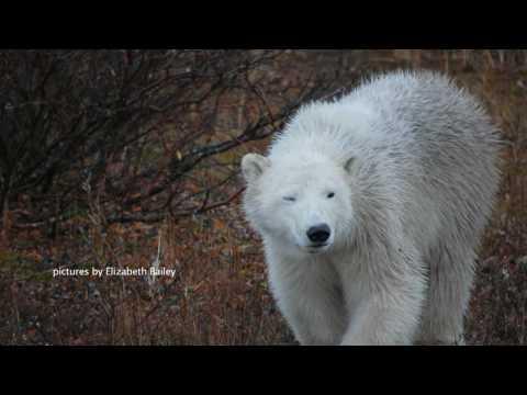 You can help save wild polar bears