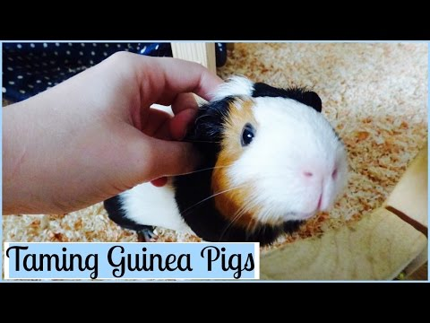 How to Tame Your Guinea Pigs | 7 Tips